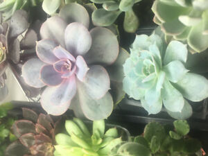 Large succulents for sale! Priced individually