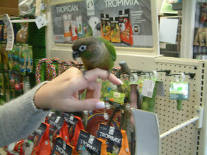 Rehome Green cheek  conure with cage