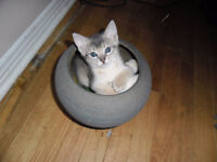 Abyssinian/Siamese NEW PRICE