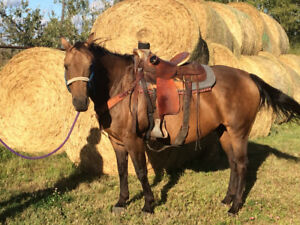 10 year old quarter horse gelding