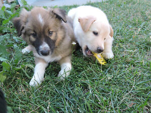 collie cross with sheppard husky puppies !
