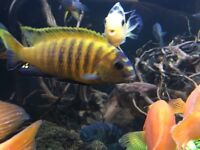 Malawi pair for sale cichlid African