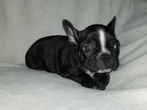FRENCHTON PUPPIES (French bulldog x Boston Terrier)