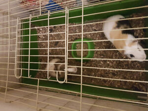 FREE PET - GUINEA PIGS , FOOD ,  CAGE . WITH EVERYTHING