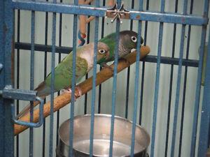 Couple conure à jour verte : Canelle et Turquoise (cage inclus)