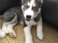 For sale kc registered Siberian husky