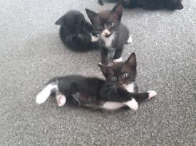 Black&white and black kittens