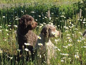 Lagotto Romagnolo puppies - Non Shedding / Hypoallergenic doodle