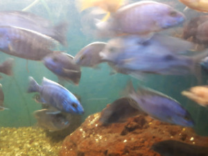 Lots of new African cichlids for sale