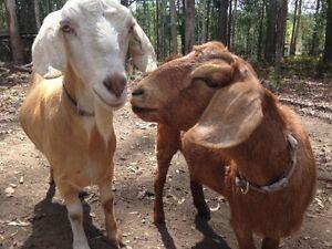 2 goats for sale Doonan Noosa Area Preview