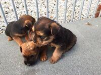 Boarder terrier / Lakeland pups