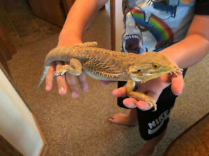 2 year old Bearded Dragon and all supplies needed