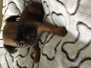 CKC Reg'd Brussels Griffon Puppies