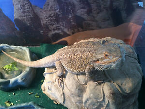 Bearded Dragon With Everything Needed