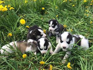 Chiots Husky parents chien de traîneau