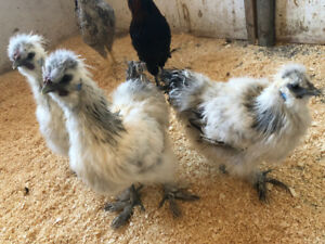 Silkie roosters and Creasted cream legbar rooster chicks