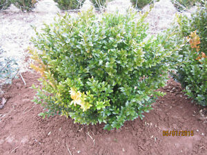 Shrubs For Sale