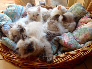 Himalayan Kittens Seek Loving Forever Home