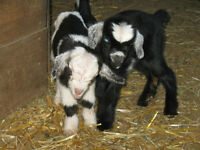 Beautiful Miniature Silky Fainting Goats
