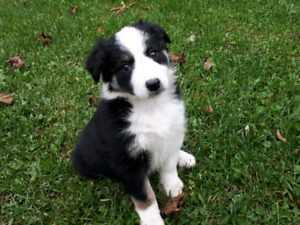 7 Registered Border Collie Puppies - Ready to Go!