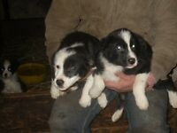 registered border collie pups