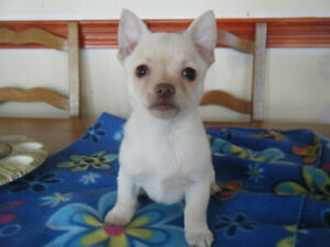 "Chihuahua  "" Rare ""   Bébé mâle  à poils longs !!!"