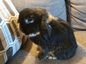 Hi! i'm Booth! Holland lop bunny