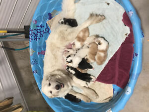 Great Pyrenees x Bernese mountain dog puppies!