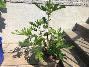 Fig Tree(Figuier)Violette de Bordeaux!