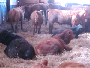 Beef heifers and steers