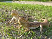 Breading pair of Bearded Dragons along with 2 babies