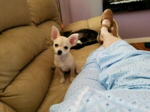 ADORABLE SWEETNATURED CHIHUAHUA PUPPIES