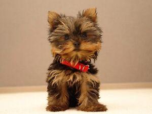 Je cherche petit chien pure race à petit prix !