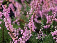 9cm Pot Heather Calluna Vulgaris J H Hamilton Summer Autumn Ground Cover - growon shrubs - ebay.co.uk