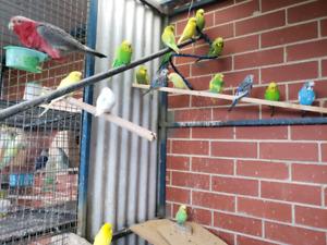 english budgies for sale | Birds | Gumtree Australia Free