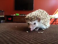 Hedgehog looking for loving home. Serious inquiry's only