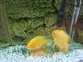 Large red spotted severum