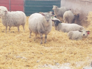 Cross bred and purebred ewes