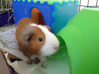 2 Male Guinea Pigs and all Accessories!