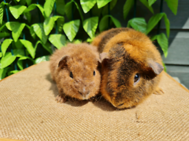 Guinea pigs boys and girls