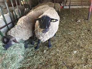 Suffolk cross ewes for sale