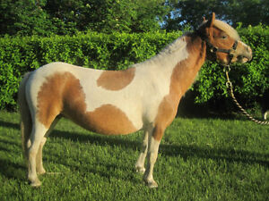 Registered Miniature Pinto Mare - Therapy Horse, Kid safe!