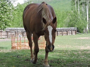 AQHA NFQHA registered brood mare for sale