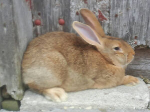Flemish Giant Young Rabbits