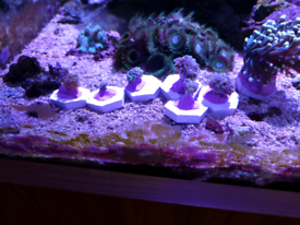 Coral frags