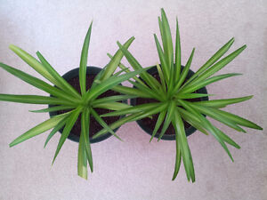 Healthy Mature Spider Plants London Ontario image 1