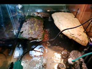 NEED GONE ASAP 40 Gallon Turtle Tank ,2 Turtles & all accessorie