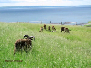 SOLD     Soay Sheep Flock For Sale