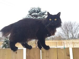 REWARD*****Small Black Cat, Short Tail MISSING IN NICTAUX