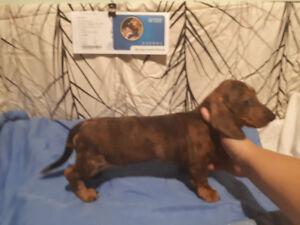 1 Miniature dachshund male puppy left